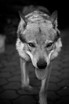 Happy Wolf